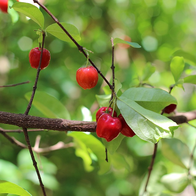 acerola na stromě