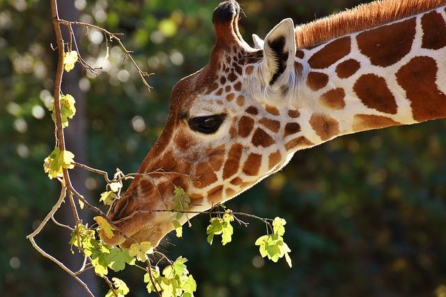 hlava žirafy