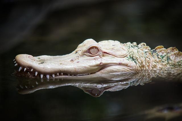 hlava aligátora